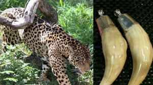 "Colmillos de jaguar vendidos en China. El animal está en estado ""vulnerable""."